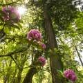 Rhododendron Garden in Point Defiance Park.- Point Defiance Park