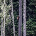 A better shot of the bear cub in a tree, viewed from the Muddy Fork.- Muddy Fork