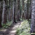 The trail proceeds through a dense forest of Douglas fir and hemlock.- Muddy Fork