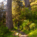 The trail runs along some massive Douglas fir trees.- Larch Mountain Trail