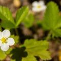 Wild strawberrry (Fragaria vesca).- Fish Creek Mountain