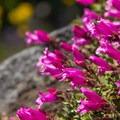 Rock penstemon (Penstemon rupicola).- Fish Creek Mountain