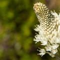 Unidentified species (help us identify it by providing feedback).- Fish Creek Mountain