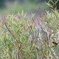 Male common yellowthroat (Geothlypis trichas).- Fern Ridge Wildlife Area, Fisher Butte Unit
