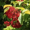 Red elderberry (Sambucus racemosa).- Old Pedro Mountain Road