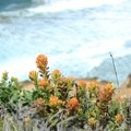 Indian paintbrush on Gray Whale Cove Trail.- Gray Whale Cove Trail