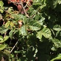 Poison oak (Toxicodendron diversilobum) on Gray Whale Cove Trail.- Gray Whale Cove Trail