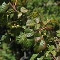 Poison oak (Toxicodendron diversilobum) on Montara Mountain.- Montara Mountain