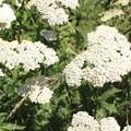Unidentified species (help us identify it by providing feedback).- Montara Mountain