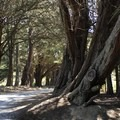 Cyprus trees on North Peak Access Road. - Montara Mountain
