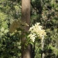 Cream bush (Holodiscus discolor).- Brooks Creek Trail