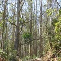 Eucalyptus trees on Montara Mountain Trail.- Montara Mountain Trail