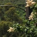 Cream bush (Holodiscus discolor) on Montara Mountain Trail.- Montara Mountain Trail
