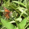 Painted Lady (Vanessa cardui).- Montara Mountain Trail