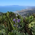 Lupine and sword fern (Polystichum munitum) overlooking the Pacific.- Montara Mountain Trail