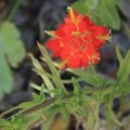 Indian paintbrush (Castilleja) in San Pedro Valley County Park.- San Pedro Valley County Park