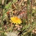 Painted lady butterfly (Vanessa cardui).- San Pedro Valley County Park