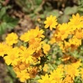California goldfield (Lasthenia californica).- San Pedro Valley County Park