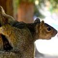 A western gray squirrel (Sciurus griseus).- McKinley Park