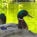 The mallard (Anas platyrhynchos).- McKinley Park