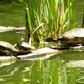 A busy day for Florida redbelly turtles (Pseudemys nelsoni) in McKinley Park.- McKinley Park