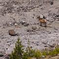 A Roosevelt elk (Cervus canadensis) crossing a washout.- Ape Canyon