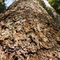 Douglas fir (Pseudotsuga menziesii).- Ape Canyon