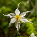 Avalanche lilly (Erythronium montanum).- Chinidere Mountain + Wahtum Lake Hike