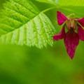 Salmonberry (Rubus spectabilis).- Chinidere Mountain + Wahtum Lake Hike
