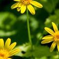 Oregon sunshine (Eriophyllum lanatum).- Chinidere Mountain + Wahtum Lake Hike