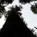 Old-growth forest near Chindidere Mountain.- Chinidere Mountain + Wahtum Lake Hike