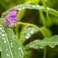Fireweed (Chamerion angustifolium).- Poo Poo Point via Chirico Trail