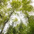 Black cottonwood (Populus trichocarpa) canopy on the Lewis Creek Park trail system.- Lewis Creek Park