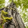 Black cottonwood (Populus trichocarpa) on the Lewis Creek Park trail system.- Lewis Creek Park