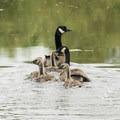 Canada geese (Branta canadensis) in the Mercer Slough.- Mercer Slough Nature Park