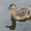 Mallards (Anas platyrhynchos) in the Mercer Slough.- Mercer Slough Nature Park