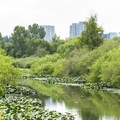 Mercer Slough with the Bellevue skyline in the backgound.- Mercer Slough Nature Park