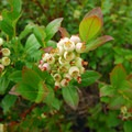 Blueberries at Mercer Slough Nature Park.- Mercer Slough Nature Park