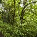 Conifer forest along the John MacDonald Nature Loop Trail hike.- Tolt-MacDonald Park