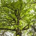 Canopy of bigleaf maple (Acer macrophyllum) along the John MacDonald Nature Loop Trail.- John MacDonald Nature Loop Trail