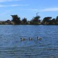 Canada geese at Berkeley Aquatic Park.- Aquatic Park