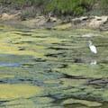 Snowy egret at Berkeley Aquatic Park.- Aquatic Park