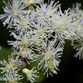 Western white clematis (Clematis ligusticifolia).- Burnt Lake + Zigzag Mountain