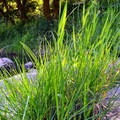 Healthy riparian habitat along Drift Creek.- Harris Ranch Trail