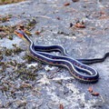 Garter snake.- Harris Ranch Trail