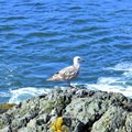 Western gull (Larus occidentalis).- Coquille River Lighthouse