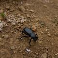A darkling beetle (Tenebrionidae) on the Coastal Trail.- Coastal Trail, Rodeo Beach to Muir Beach