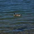 A Canada goose at Lake Merritt.- Lake Merritt