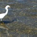 Snowy egret at Lake Merritt.- Lake Merritt