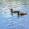 American black duck (Anas rubripes).- Lake Anza